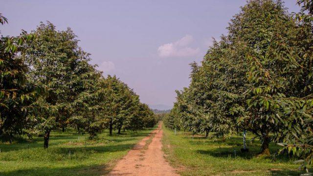 Kavling Lantaburro – Kavling Produktif Kebun Buah Plus Villa