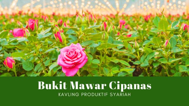 Bukit Mawar Cipanas – Investasi Syariah Kebun Mawar Terbesar se-Indonesia